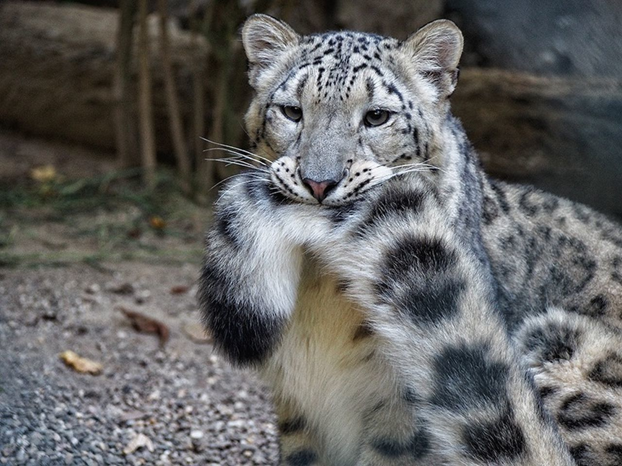 animals in the wild, one animal, animal themes, animal wildlife, mammal, portrait, looking at camera, no people, outdoors, day, leopard, safari animals, nature, close-up