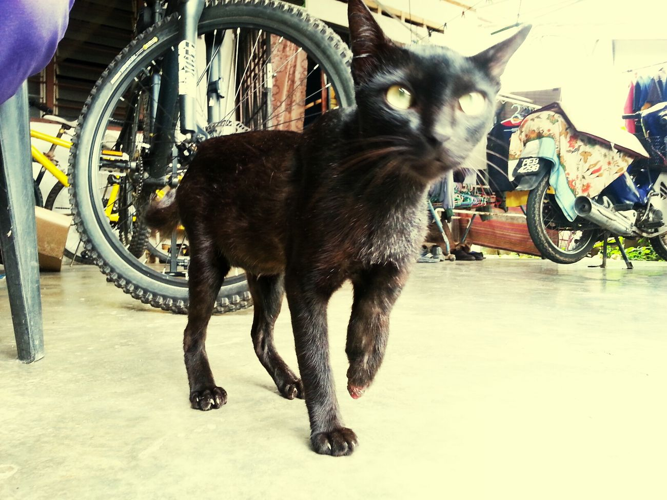 Cat Pahang Hello World Malaysia you.. hey you.. see?? ive told ya.. half hand' maa