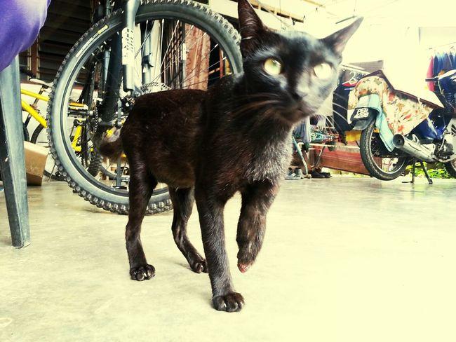Cat Pahang Hello World Malaysia you.. hey you.. see?? ive told ya.. half hand' maa