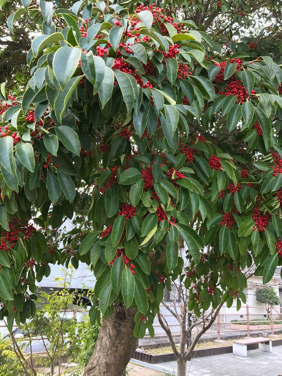 南天の木 12月 福岡県 ランニング ウォーキング Iphone7 Japan Behappy Tree Nature Food And Drink Fruit Freshness Leaf Outdoors Day Food No People Branch Close-up Beauty In Nature Healthy Eating