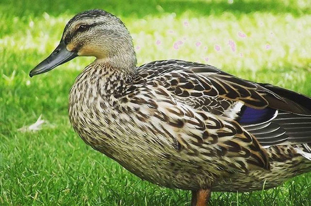 Duck Park Cornwallpark Bird Bbft_lovelybirds Nature Fyp_feathers Pocket_farms