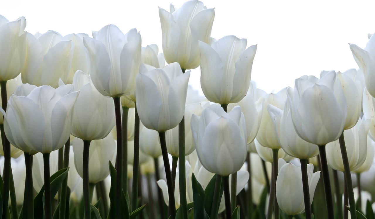 Beautiful stock photos of tulip, Flower, beauty In Nature, blossom, bunch Of Flowers