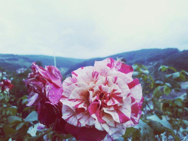 Garden Pink Flower Nature Flower Collection EyeEm Nature Lover Pink Beykoz Istanbul Turkey