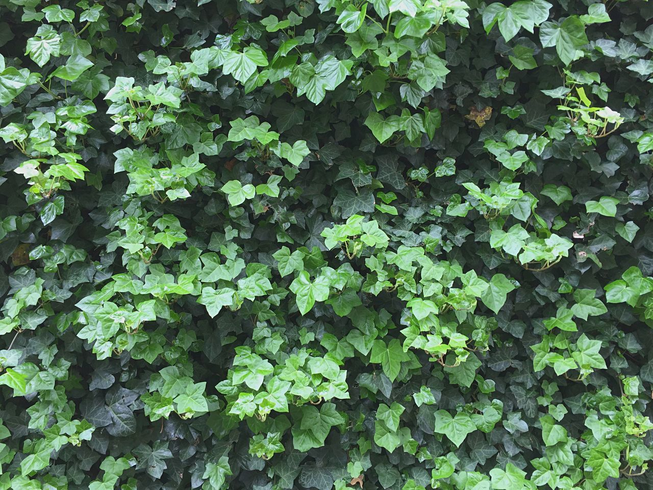 plant, growth, leaf, green color, day, nature, full frame, outdoors, backgrounds, no people, ivy, fragility, beauty in nature, close-up, freshness
