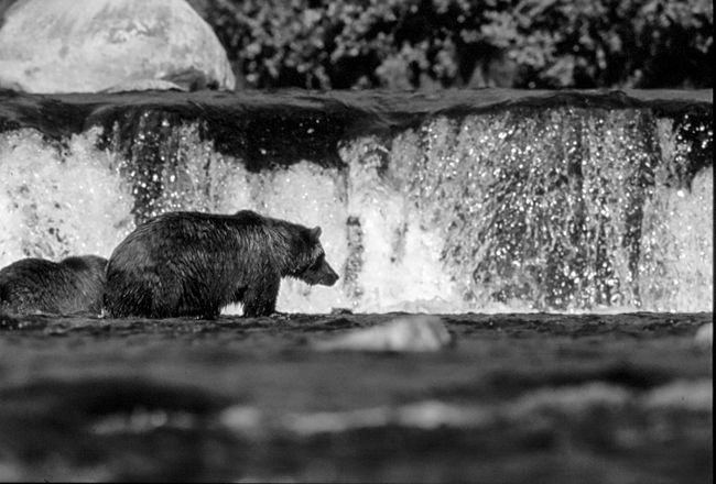 Alaska Alaska Bear Black And White Brooks Falls Close-up Day Detail Flowing Flowing Water Focus On Foreground Motion Nature No People Outdoors River River View Rock - Object Selective Focus Surface Level