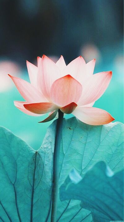 Flower Nature LOTOS FLOWER Inspiration Fresh Weather Pink Color Beauty In Nature No People