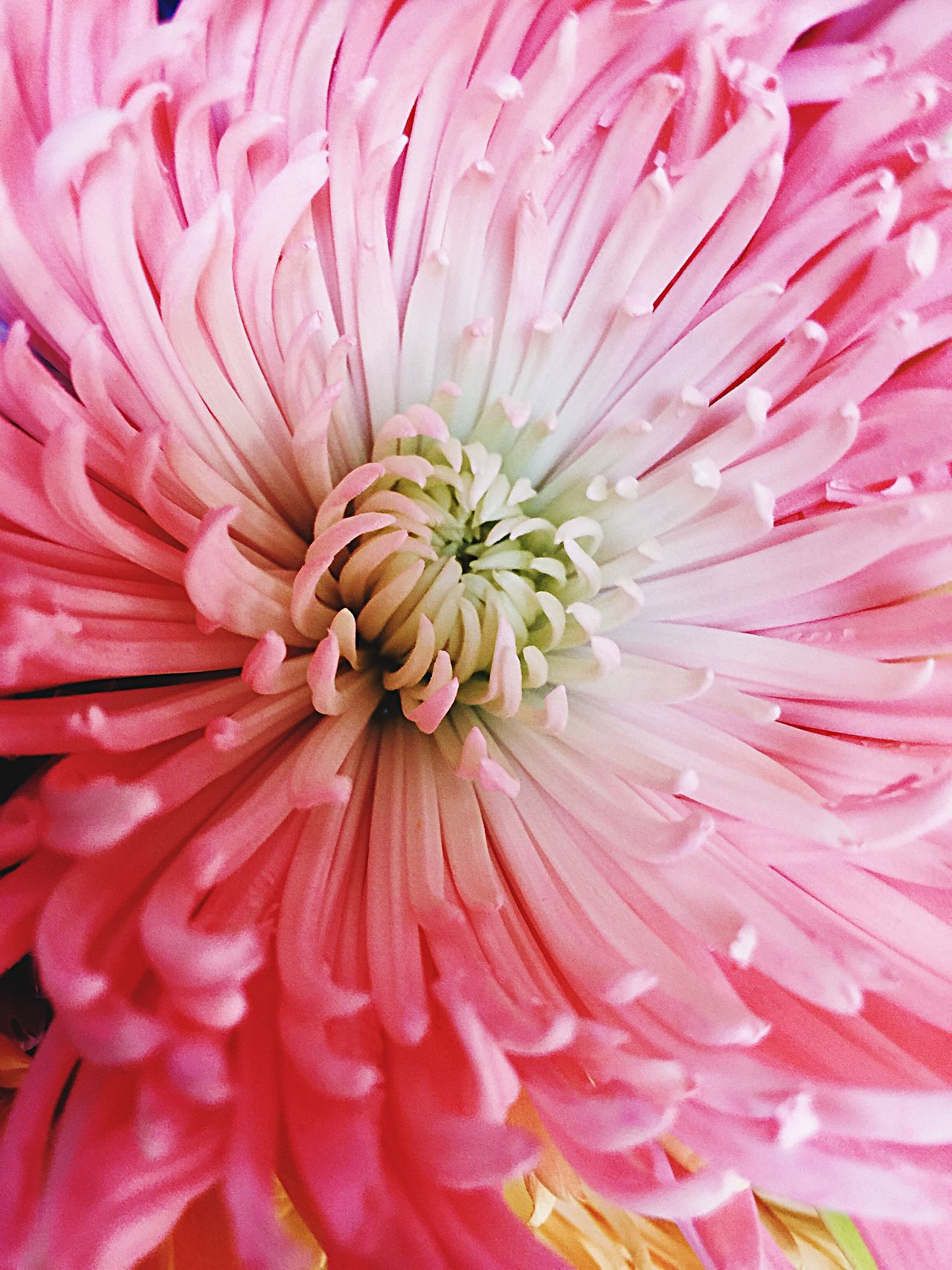 Pink chrysanthemum Flower Petal Flower Head Fragility Beauty In Nature Freshness Nature Full Frame Pink Color Close-up Dahlia Blooming No People Growth Pollen Chrysanthemum Backgrounds Plant Day Outdoors Iphonephotography Fresh On Eyeem