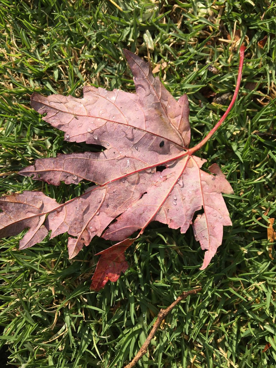 leaf, autumn, change, dry, leaves, nature, maple, day, fallen, outdoors, maple leaf, high angle view, no people, grass, close-up, beauty in nature, fragility, water