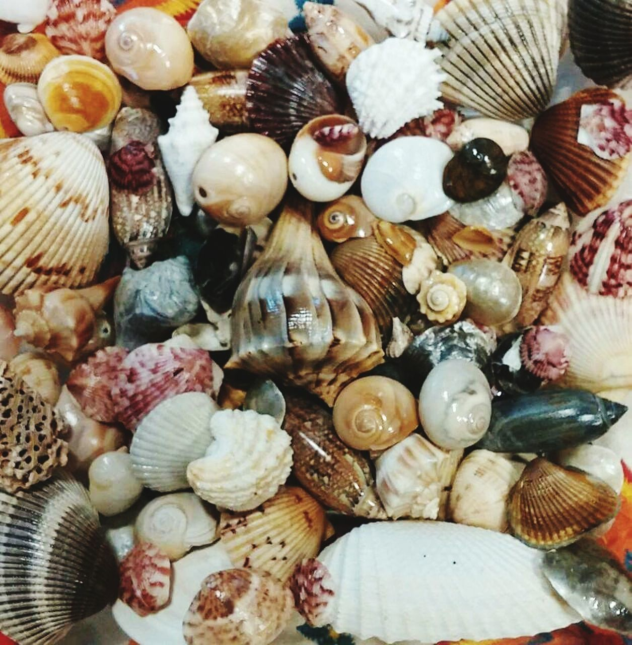 animal shell, seashell, large group of objects, no people, backgrounds, full frame, close-up, animal themes, large group of animals, indoors, day