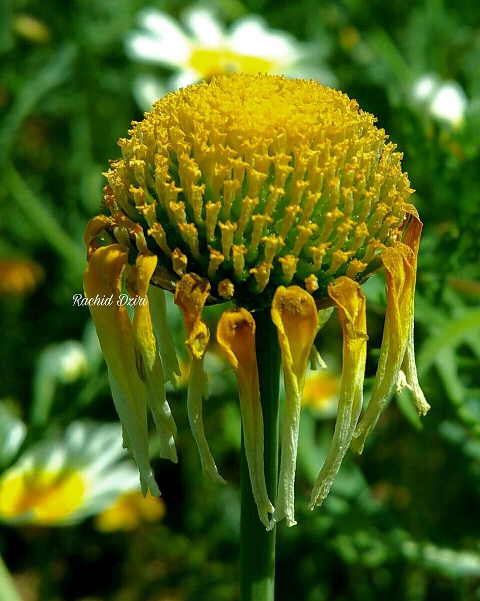Flower Nature Growth Beauty In Nature Yellow Plant Close-up Fragility Outdoors Petal Freshness Flower Head No People Day Grass Springtime Beauty In Nature Morocco 🇲🇦 Oujda City, Morocco Tranquil Scene Green Color Beauty Tourism