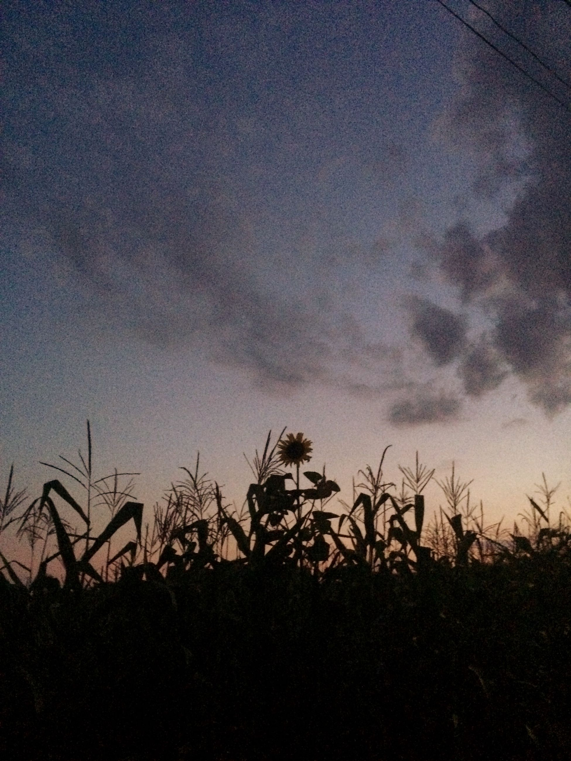 Sunflower Sunset Iphonegraphy 📱💕 MyPhotography Walk