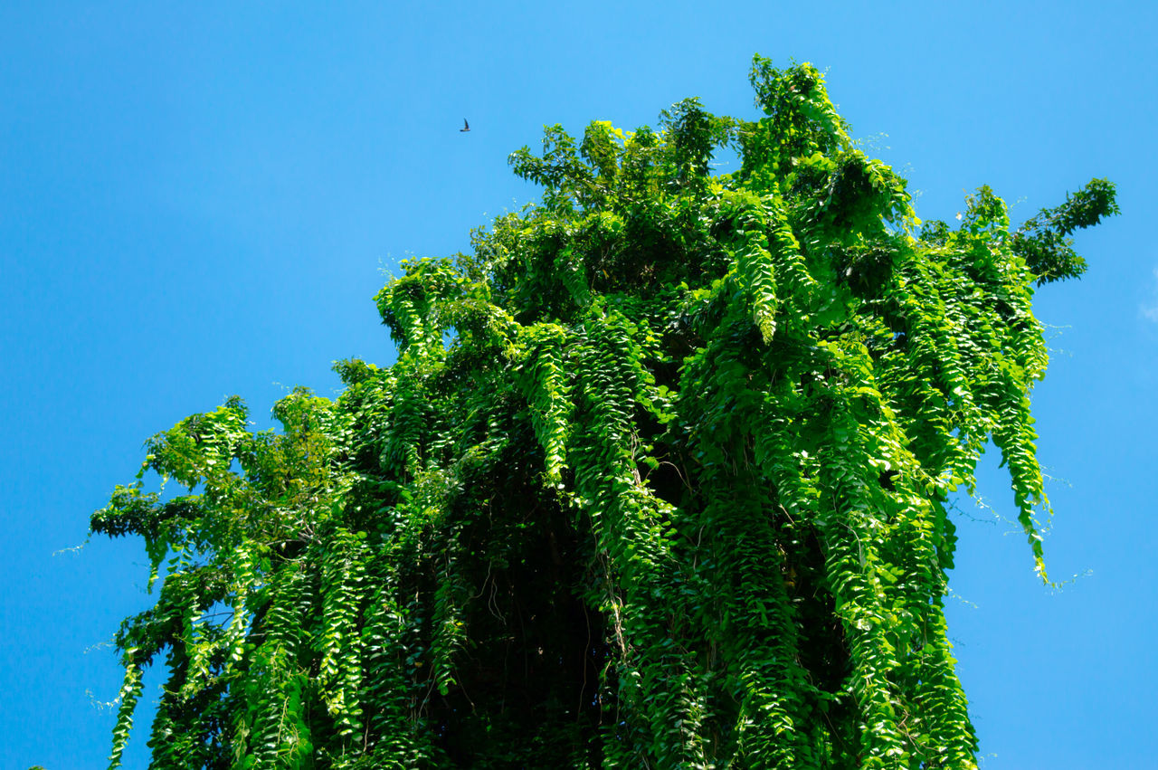 Growth Tree Blue Sky Clear Sky Nature Green Color No People Plant Leaf Beauty In Nature Branch Day Tranquility Rural Scene Green Color Low Angle View Tropical Nature Reserve