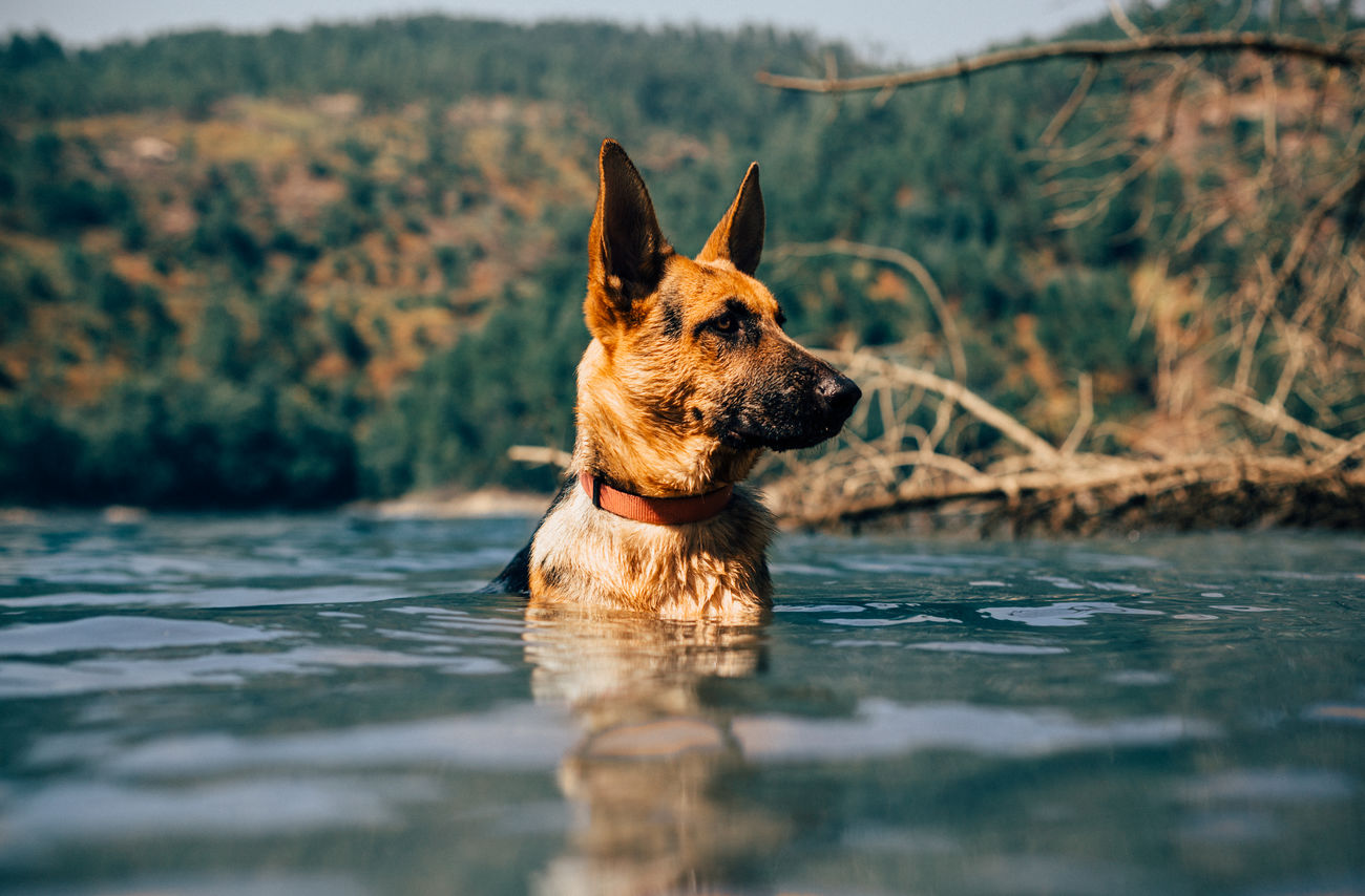 Beautiful stock photos of german shepherd,  Alertness,  Animal Themes,  Brown,  Day