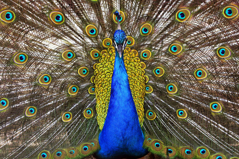 Beautiful stock photos of pfau,  Animal Head,  Backgrounds,  Beauty In Nature,  Bird