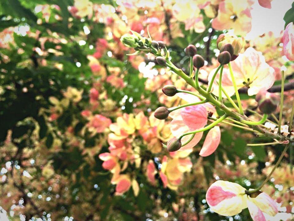 Thai sakura !! Thaisakura Sakura Blossom Blossoms  Blossoming  Blossom Tree Blossom Flowers Blossom Time🌺 Blossom Flower Pink Flower Spring Flowers Spring Springtime Spring Has Arrived Phulomlo Loei Loei,thailand IPhoneography