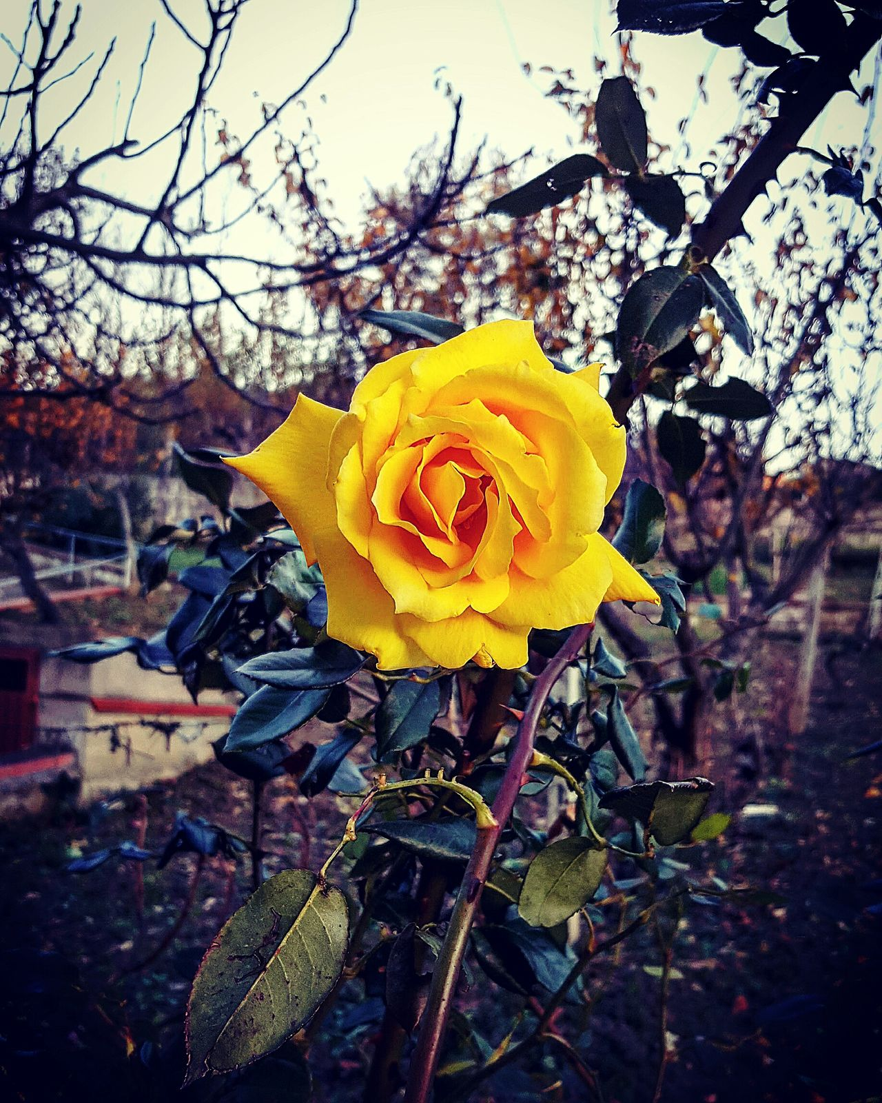 Nature Yellow Flower Rose🌹 Beauty In Nature Beautiful Naturelovers Stunning Outdoors Colors Flowers Lifeisbeautiful Love Thisismyworld Myview Stunning View Enjoy