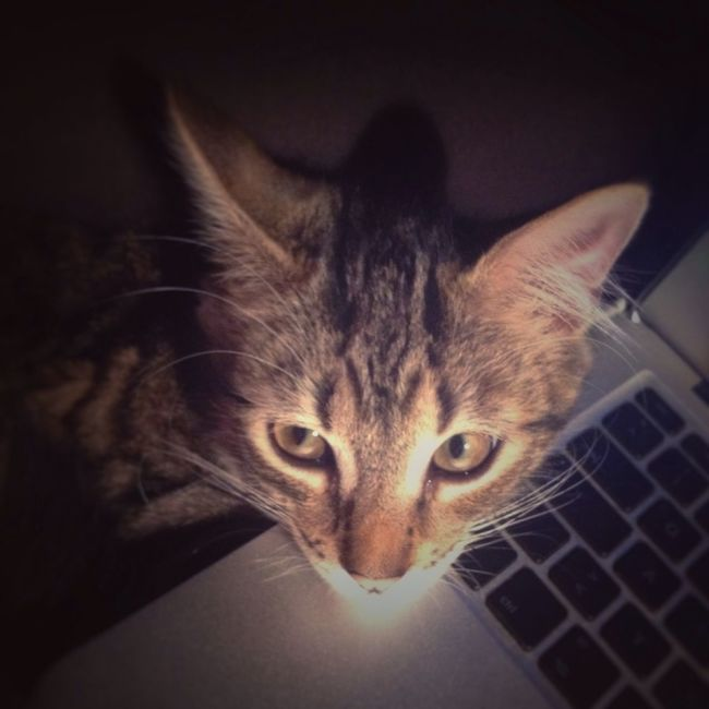 Cat Laptop Kitten No People Keyboard PC Shadows Cat Ears Red Nose