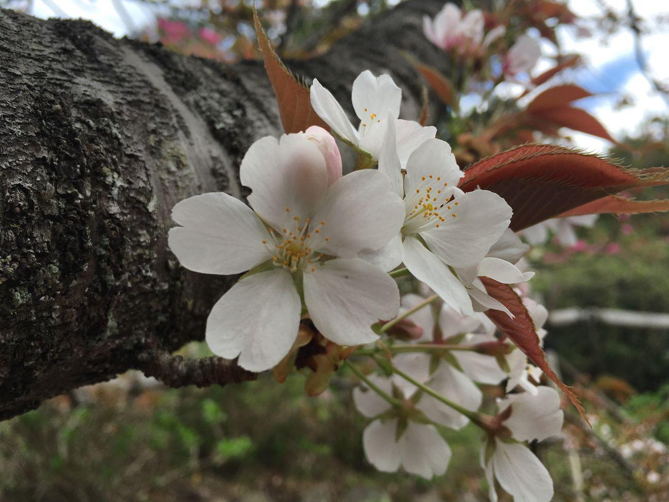 Cherry Blossoms No Edit/no Filter Spring