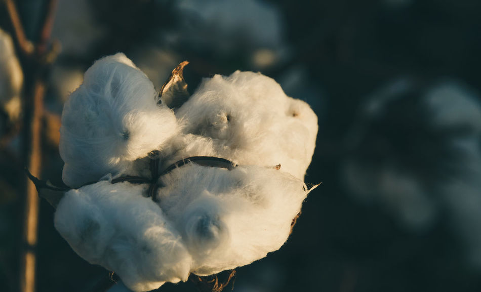 Beauty In Nature Close-up Cotton Cotton Farm Cotton Farming Cotton Field Cotton Flower Cotton Fluff Crop  Day Fall Beauty Flower Fragility Golden Hour Horizontal Nature No People Nostalgic  Outdoors Plant Plant Soft Sun Sunlight