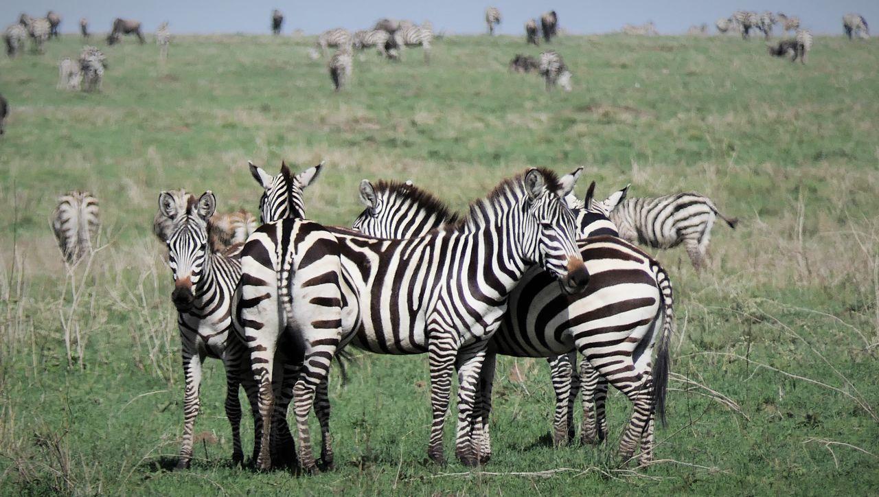 Serengeti Animal Themes Animal Wildlife Animals In The Wild Beauty In Nature Day Grass Large Group Of Animals Mammal Nature No People Outdoors Safari Animals Serengeti National Park Togetherness Zebra