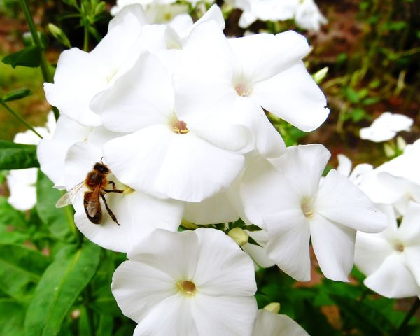 White Color Plant Nature Flower Insect Animals In The Wild Beauty In Nature Flower Head Freshness Nature Naturelovers Macro Photography Macro_collection Biene Biene Auf Blume