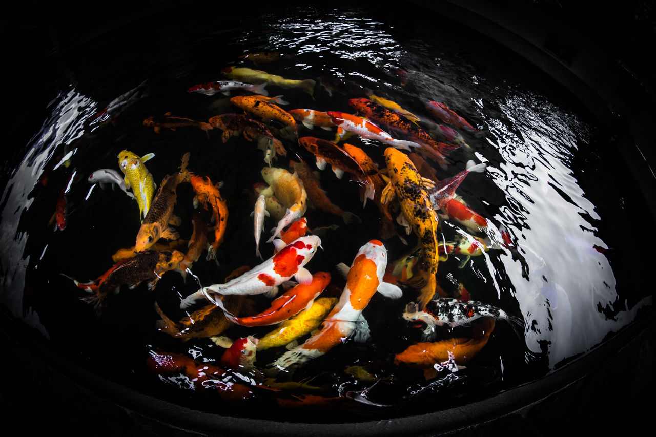 Koi Fish Fancy Carp Abundance Close-up Elevated View Fish Fish-eye Lens Fisheye Koi Koi Fish Nature No People Still Life