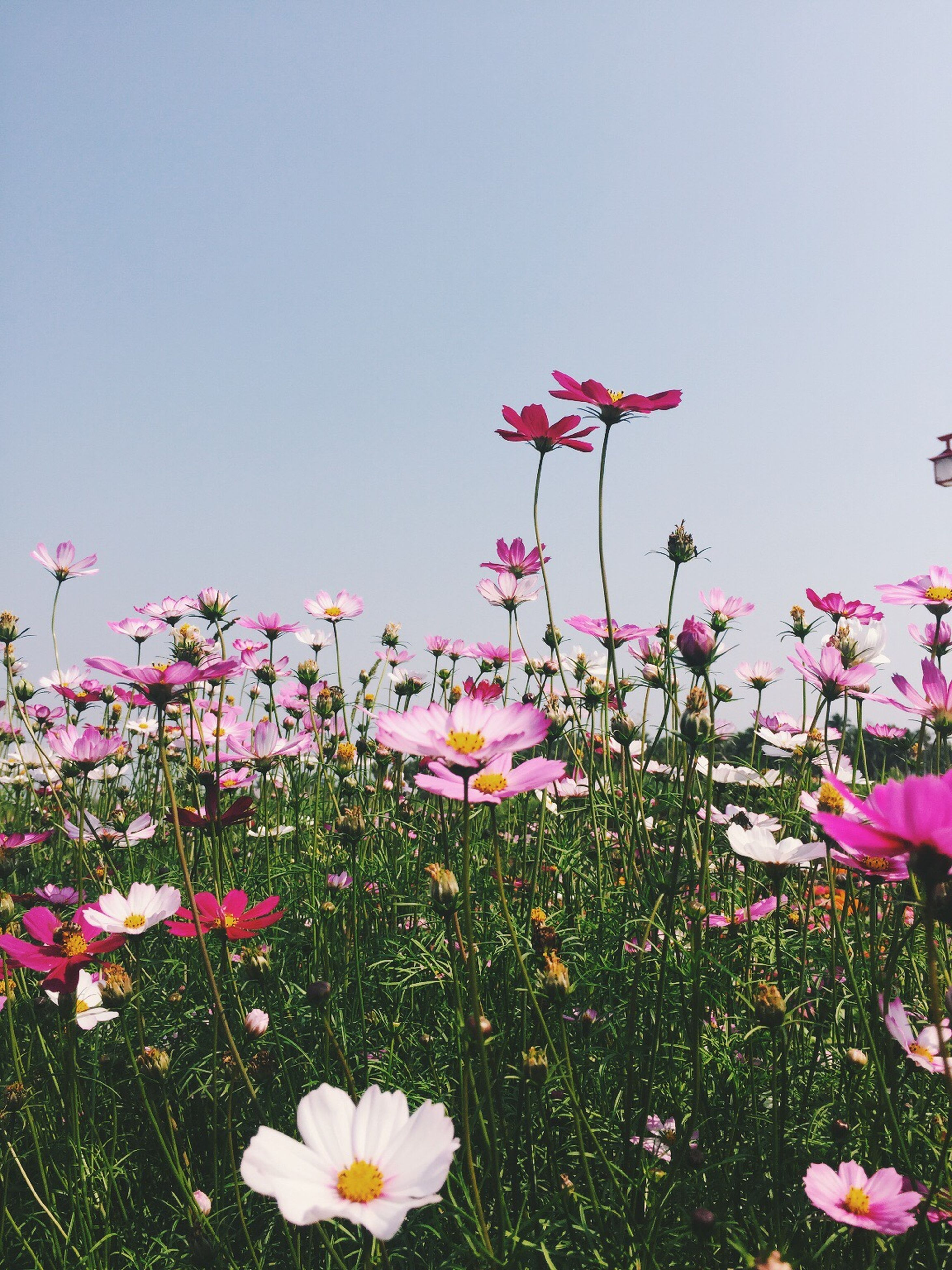 flower, freshness, fragility, petal, growth, beauty in nature, field, clear sky, blooming, flower head, nature, grass, plant, in bloom, copy space, stem, meadow, blossom, wildflower, pink color