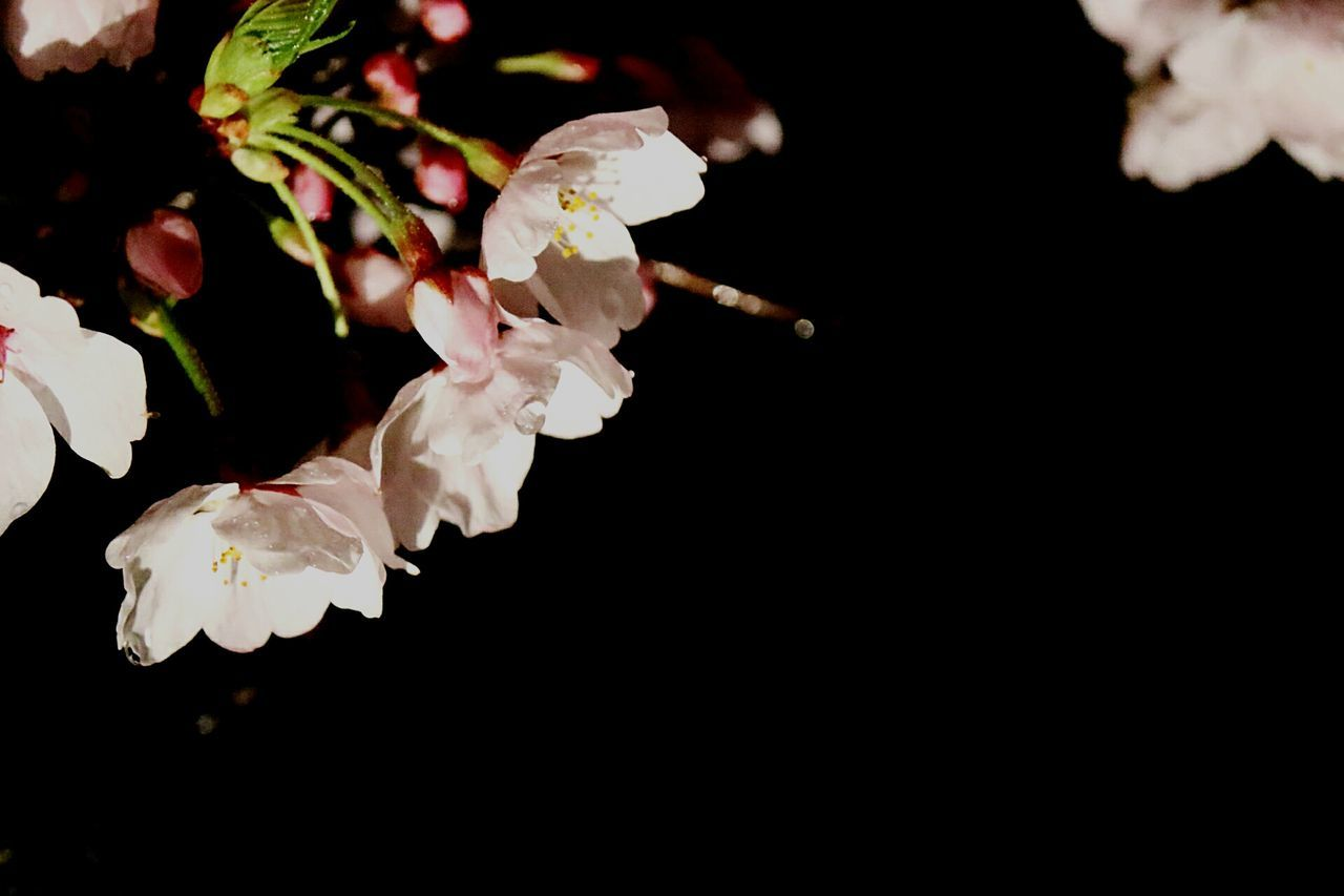 flower, petal, fragility, flower head, beauty in nature, white color, nature, freshness, close-up, black background, growth, no people, blooming, studio shot, plant, outdoors, day