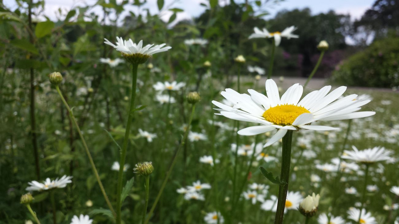 Lots and lots of daisies! Yay! TheVilleAtEyeem Flowers For Passion! Eyeemnature Eyeemnaturelover