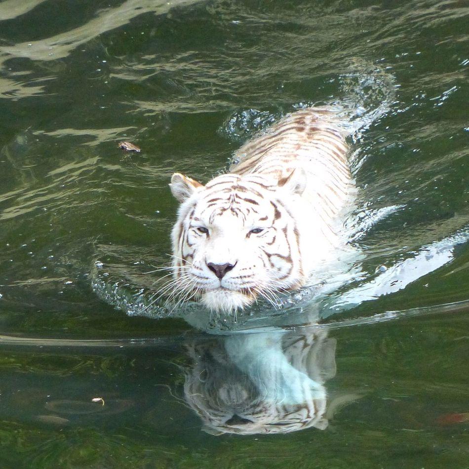Tigre Blanco Tigre Blanc White Tiger Swimming Temaiken