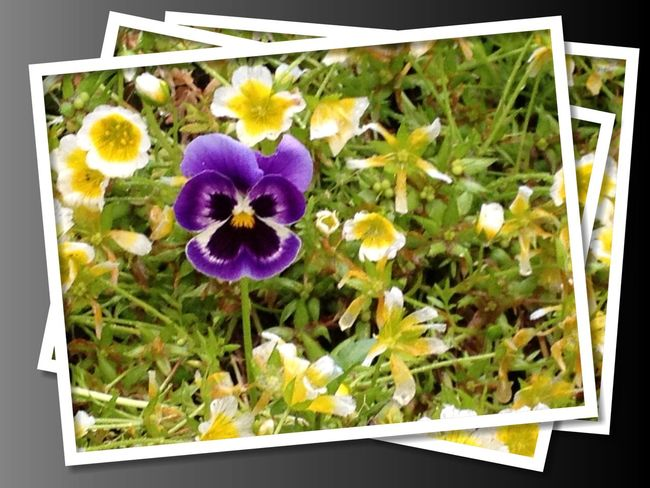 Beauty In Nature Blooming Close-up Day Digital Art Flower Flower Head Fragility Freshness Growth Nature No People Outdoors Pansy Petal Plant Purple Flower Purple Pansy Yellow