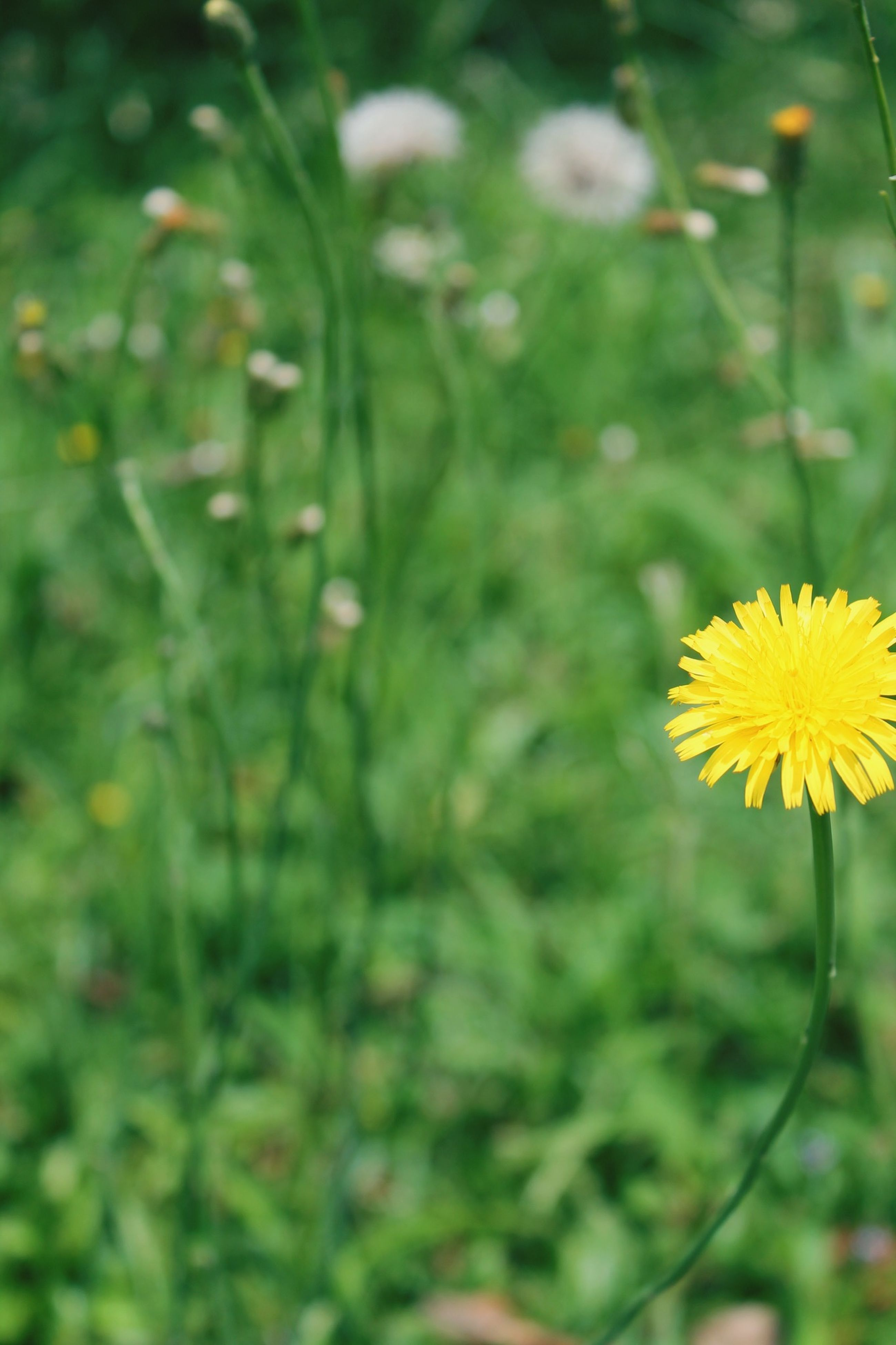 flower, freshness, growth, fragility, yellow, petal, beauty in nature, plant, flower head, nature, focus on foreground, blooming, close-up, stem, selective focus, in bloom, outdoors, field, wildflower, day