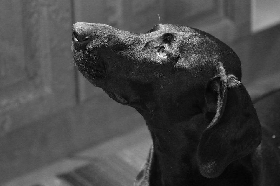 Birka ❤ Germanshorthairedpointer Dog Vorsthe Sweden Hundar Blackandwhite Bw_collection Bw_lover Eye4photography
