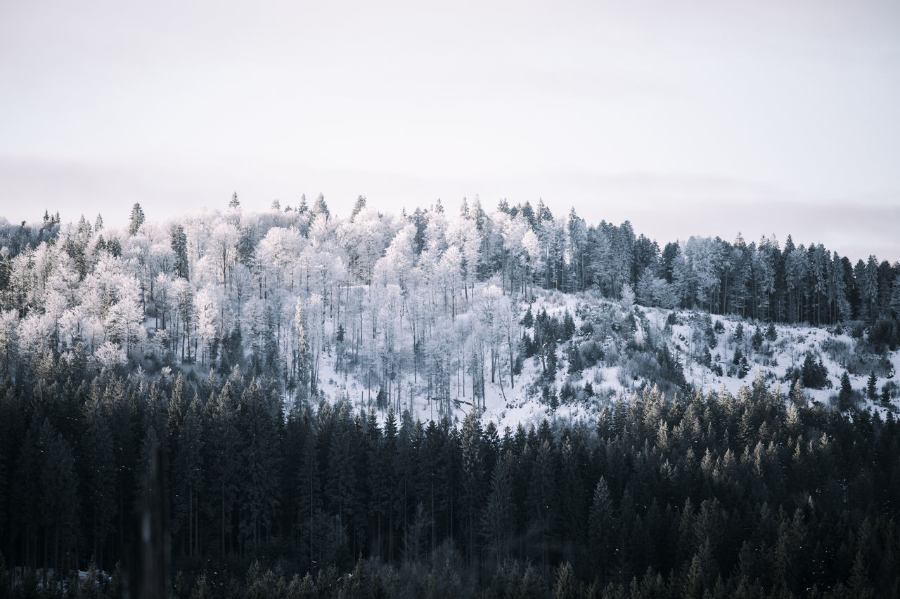 Frozen forest treesBeautiful Nature Branch Environment Evergreen Freshness Frost Frozen Green Color Growth Landscape Morning Mountain Nature Nature_collection No People Outdoors Scenery Scenics Sky Snow Snow Covered Trees Snow ❄ Tranquility Tranquility Tree