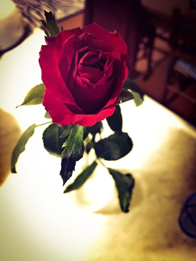 Rosa Rose🌹 Flower Present Regalo Pensiero