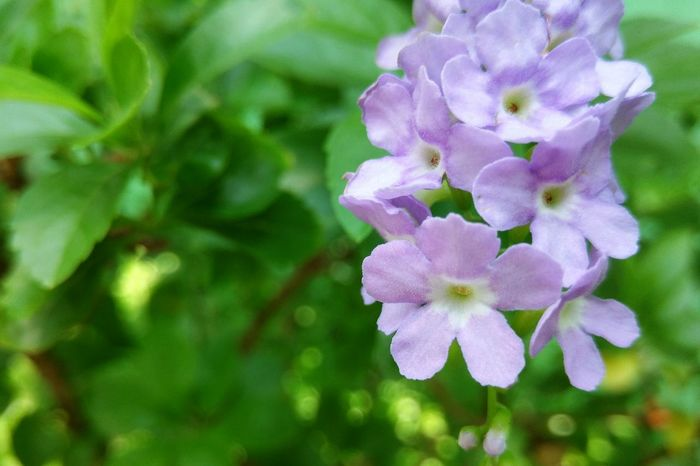 Sky Flower Golden Dewdrop Pigeon Berries Duranta Flower Nature Beauty In Nature Growth Purple Fragility Freshness Close-up Plant Outdoors No People Day