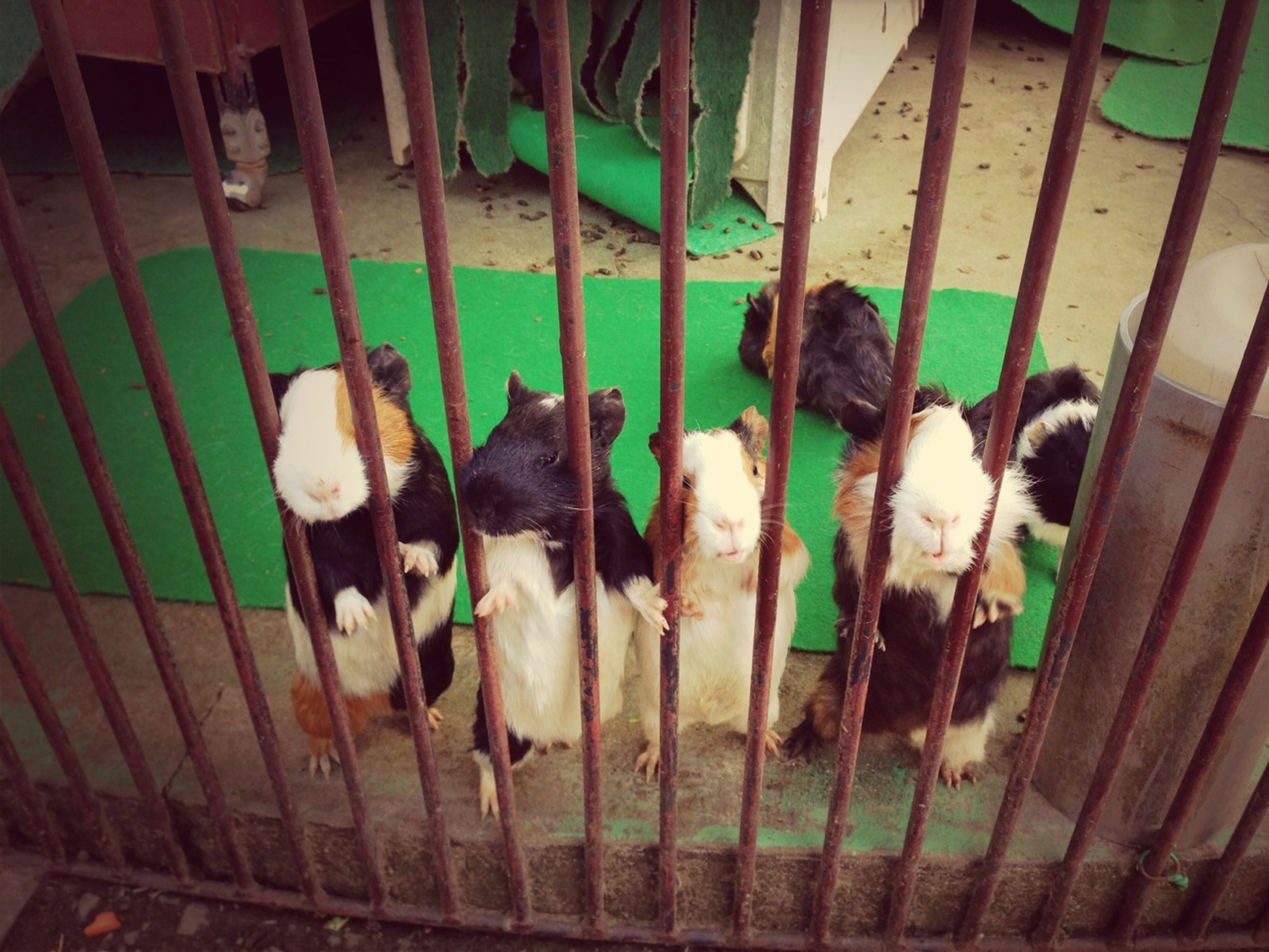 animal themes, domestic animals, bird, high angle view, medium group of animals, indoors, two animals, animals in captivity, livestock, mammal, wildlife, togetherness, cage, chicken - bird, day, pets, young animal, animals in the wild, three animals