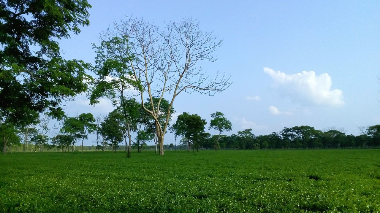 tree, field, landscape, nature, beauty in nature, tranquility, grass, agriculture, tranquil scene, growth, scenics, sky, outdoors, day, no people