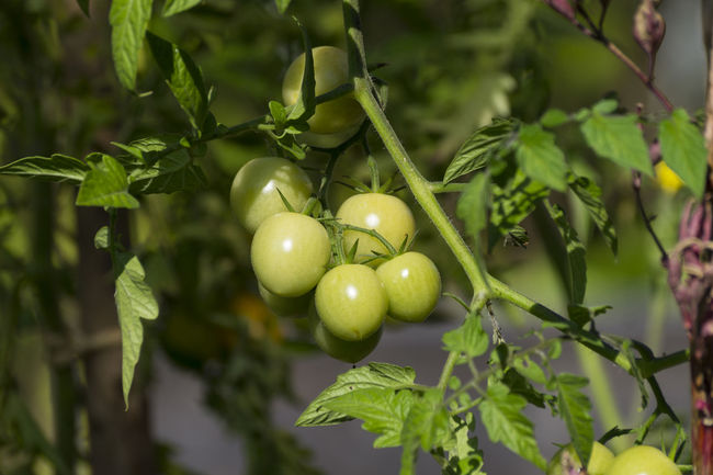 Agriculture Close-up Focus On Foreground Fresh Garden Garden Fruits Green Tomatoes Natural Organic Food Things That Are Green Tomato Tomato Plant Tomatoes Vegetarian Vegetarian Food