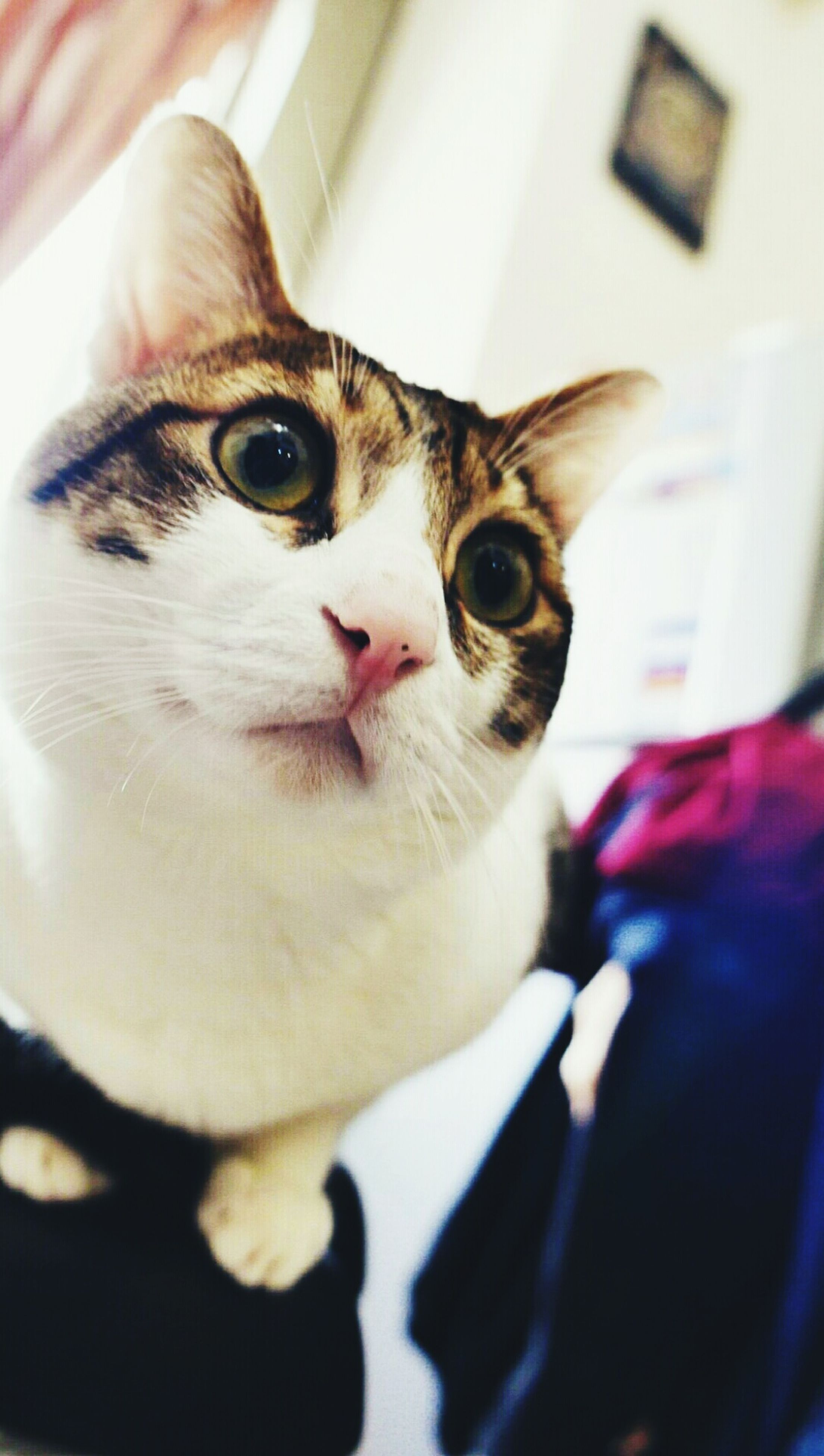 indoors, pets, one animal, animal themes, domestic animals, domestic cat, close-up, cat, looking at camera, portrait, whisker, mammal, feline, focus on foreground, home interior, animal head, sitting, selective focus, white color, front view