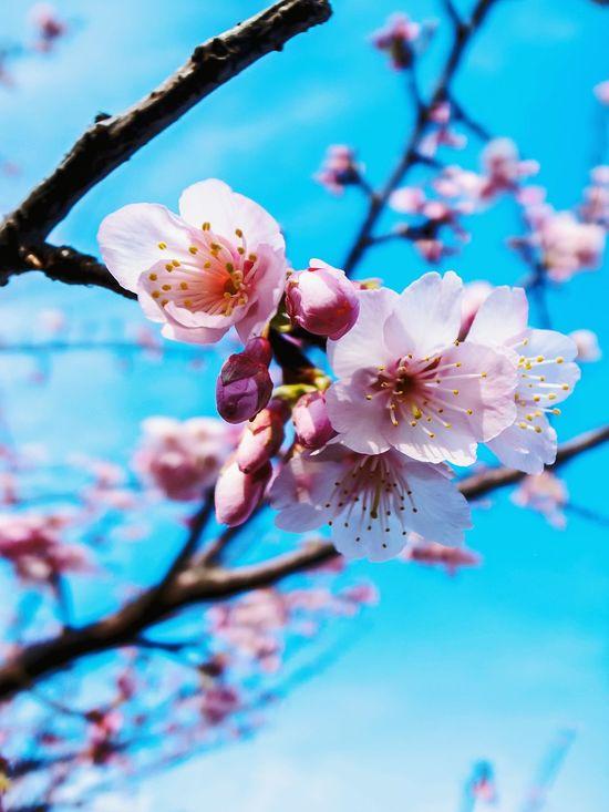 time flies...another cherry blossom season! Cherry Blossom Taiwan YangMingShan GRD3