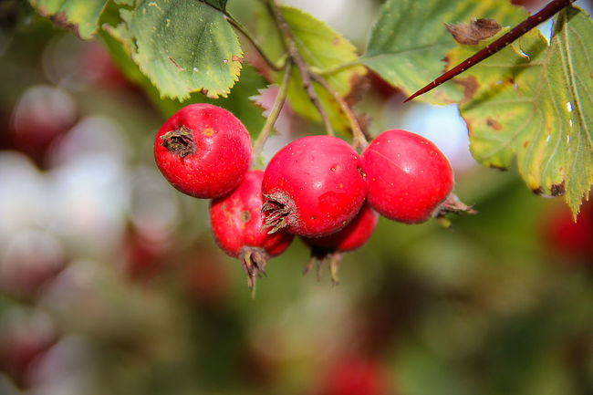 Crataegus, Agriculture Berries Berry Fruit Branch Close-up Day Edible Plants Focus On Foreground Food Food And Drink Freshness Fruit Green Color Hanging Hawthorn Healthy Eating Honey Medicinal Plant Nature Organic Outdoors Red Ripe Tree Vibrant Color