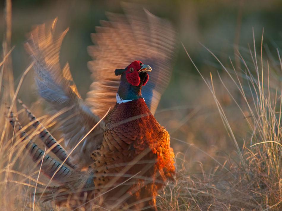 Beautiful stock photos of rooster,  Animal Themes,  Animal Wing,  Bird,  Birdwatching