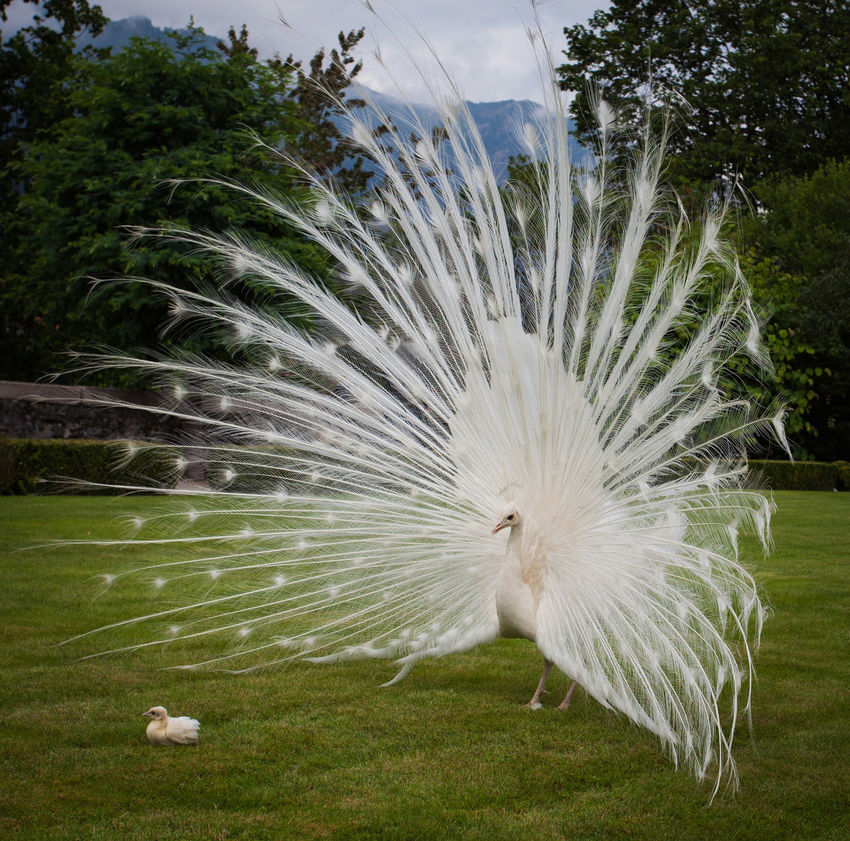 Leucism White Indian Peacock Animal Themes Bird Chick Peacock Peacock Feather Plumage