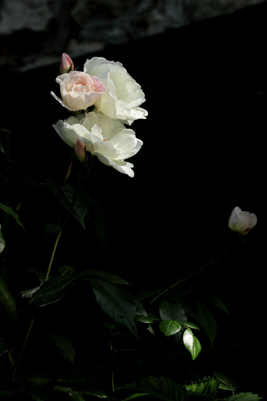 flower, petal, nature, beauty in nature, no people, flower head, blooming, growth, freshness, fragility, night, close-up, outdoors