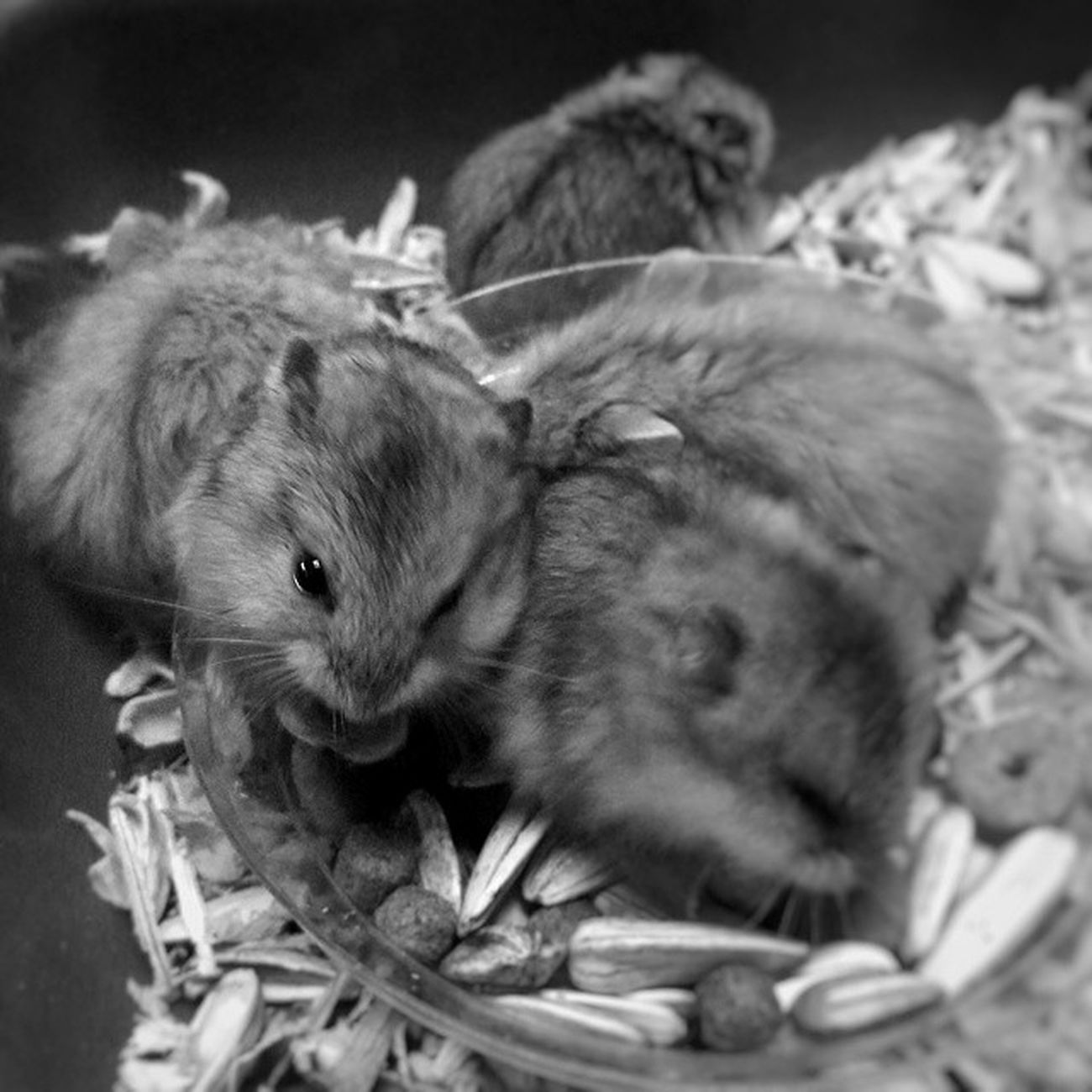 Furball. Morning Morningactivity POTD Thursday breakfast seeds nuts hamster hamsters babyhamsters babyanimals pet fluffy blackandwhite blackandwhitephotography colorless world_bnw bw_awards insta_bw bnw_planet ae_bnw bnw bnw_society bwstyles_gf bnw_diamond bnw_life rsa_bnw