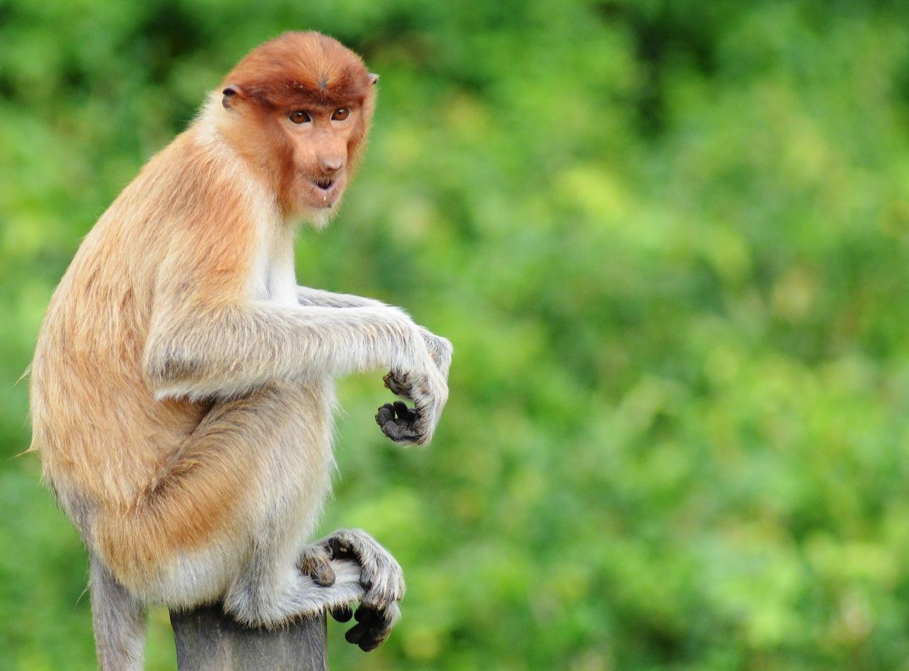 Close-Up Of Proboscis Monkey On Wooden Plank