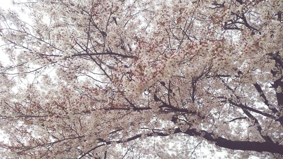 벚꽃나무 호수공원