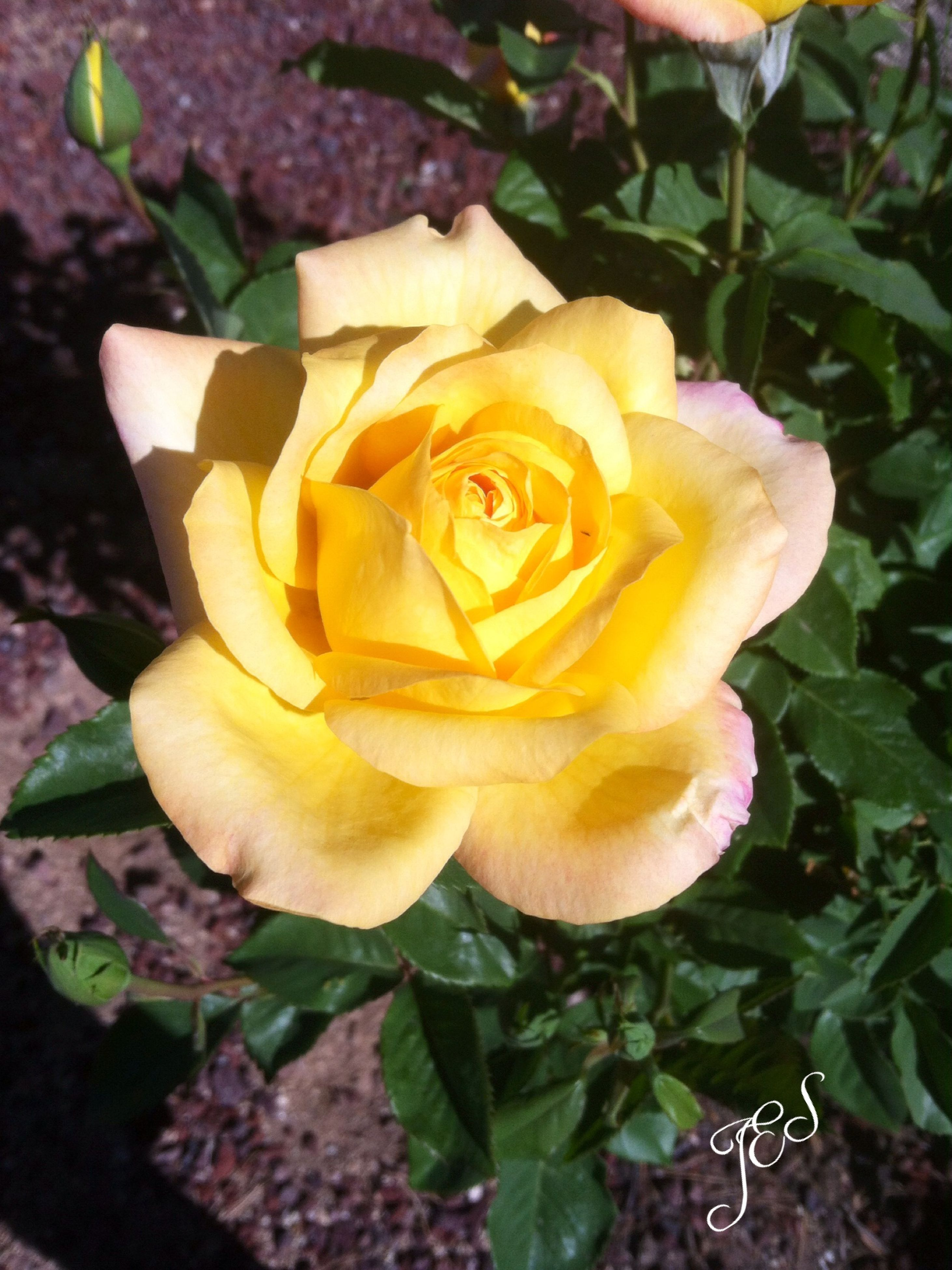 flower, petal, flower head, freshness, fragility, rose - flower, close-up, growth, beauty in nature, plant, nature, leaf, single flower, blooming, high angle view, rose, yellow, focus on foreground, indoors, no people