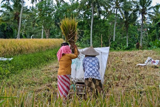 rice harvesting in Indonesia ASIA Asian  Asian Culture Bali Bali, Indonesia Beautiful Beauty In Nature Check This Out Harvest Hello World Hi! Nature Nature Photography Nature_collection Outdoors Rice Rice Field Rice Harvesting The Great Outdoors - 2016 EyeEm Awards Traveling Ubud Ubud, Bali